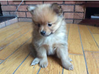 pom / pomeranian puppy