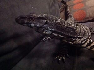 Reduced to $500      3.5ft Lace Monitor Pakenham Cardinia Area Preview