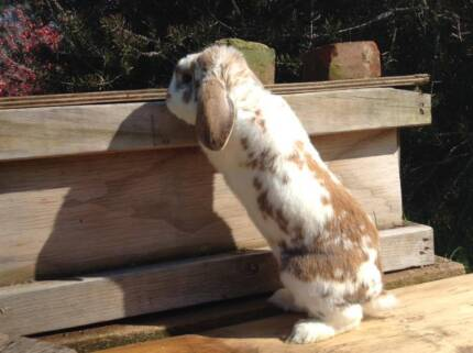 Dwarf lop buck, Forest Hill Wagga Wagga City Preview