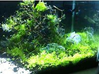 URGENT Glossostigma Carpet plant