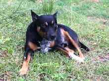 Staffy x cattle dog Kallangur Pine Rivers Area Preview