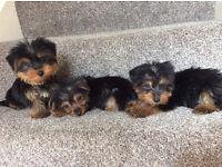 miniature yorkie/ yorkshire terrier