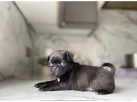 Black male pug puppy