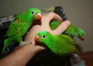 Super Friendly Handraised Baby Scaley Breasted Lorikeet Maitland Maitland Area Preview