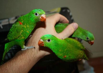 Beautiful Handraised Tame Baby Scaley Lorikeets
