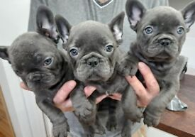 Blue french bulldogs ready to leave