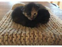 beautiful tortoishell kittens