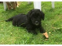 🐶Black boy Labradoodle puppy very curly🐶