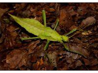 Jungle Nymph - Heteropteryx dilatata ova x10
