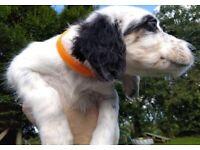 English Setter Puppies