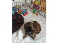 Sold Ikc Registered Shih Tzu Pups