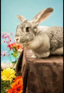 Siobhan the Flemish Giant Rabbit