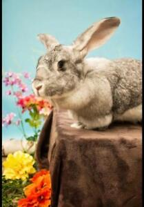 "Adult Female Rabbit - Flemish Giant: ""Siobhan"""