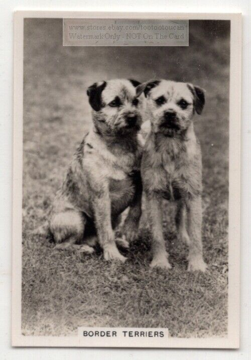 Border Terrier Dog Canine Pet Animal 1930s Trade Ad Card