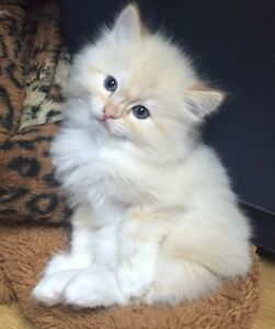 Registered Ragdoll Kittens with blue eyes