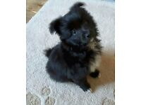 Pomapoo puppies for sale!!