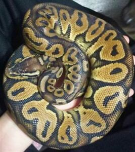 Het Red Axanthic Pastel Ball Python