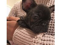 French Bulldog puppies- LAST ONE!