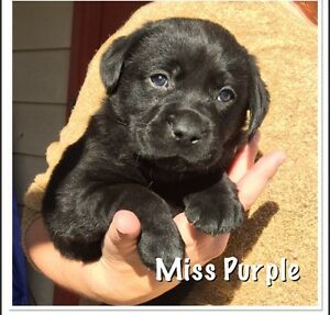 Labrador puppies registered with papers Woolgoolga Coffs Harbour Area Preview