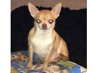 2 tcup adult chihuahuas