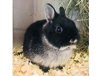 netherland dwarf rabbits x2