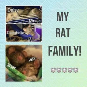 5 female rats w/ Double Critter Nation