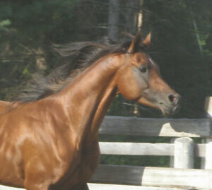 Gorgeous, well bred Arabian Stallion was $4000. price reduced