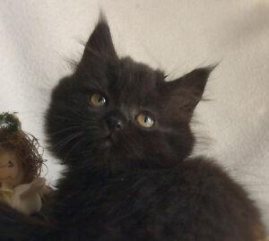 Persian Mix Kittens