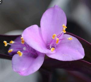 Purple Heart Cuttings