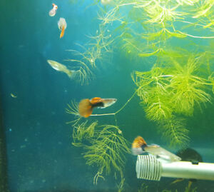 Red Tail Guppy Breeding group