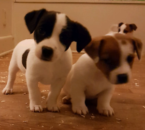 Adorable Smart Fun English Jack Russell Terrier Pups