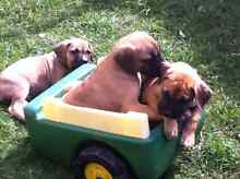 Mastiff Dane puppies. 9 weeks old Gracemere Rockhampton City Preview