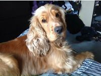 golden cocker spaniel, 4 year old, very playful and hyper and so loving.