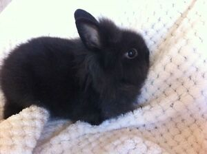 All black lion head rabbit.