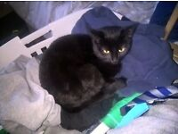 Small loving affectionate black girl cat looking to be adopted