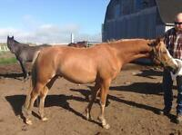 2 year old registered Half Welsh/Thoroughbred Pony
