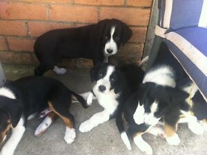 Boarder springer pups George Town George Town Area Preview