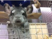 Chinchilla, young, lovely, 7 months old male London NW9