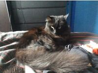 MISSING CAT LOST - REWARD IF FOUND £ - LARGE BLACK / CHOCOLATE COLOUR FEMALE LONG HAIR HU4