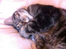Beautiful lazy cat needs home asap!! Soldiers Point Port Stephens Area Preview