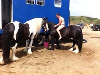 Gypsy cob for part loan/ share, 14.3hh full of fun!