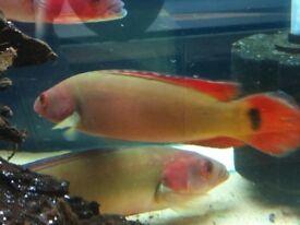 Wild Red Pike Cichlid 28-30cm