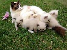 Ragdoll Kittens - purebred Maitland Maitland Area Preview