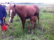 Reg ASH mare & filly foal at foot Gordonvale Cairns City Preview