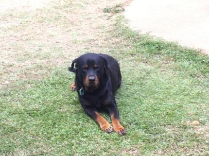 Rottweiler Purebred 4yrs old Mitchelton Brisbane North West Preview