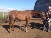 Dutch Warmblood/Thoroughbred 2 yr old Filly
