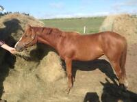 Registered Half Welsh/Dutch Warmblood Pony