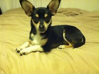 chi cross small furbabe house trained