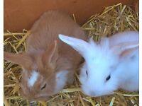 lovely baby rabbits cross breed.