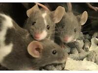 Blue, chocolate, mice
